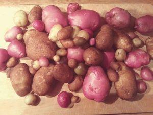 Ma récolte de patates!
